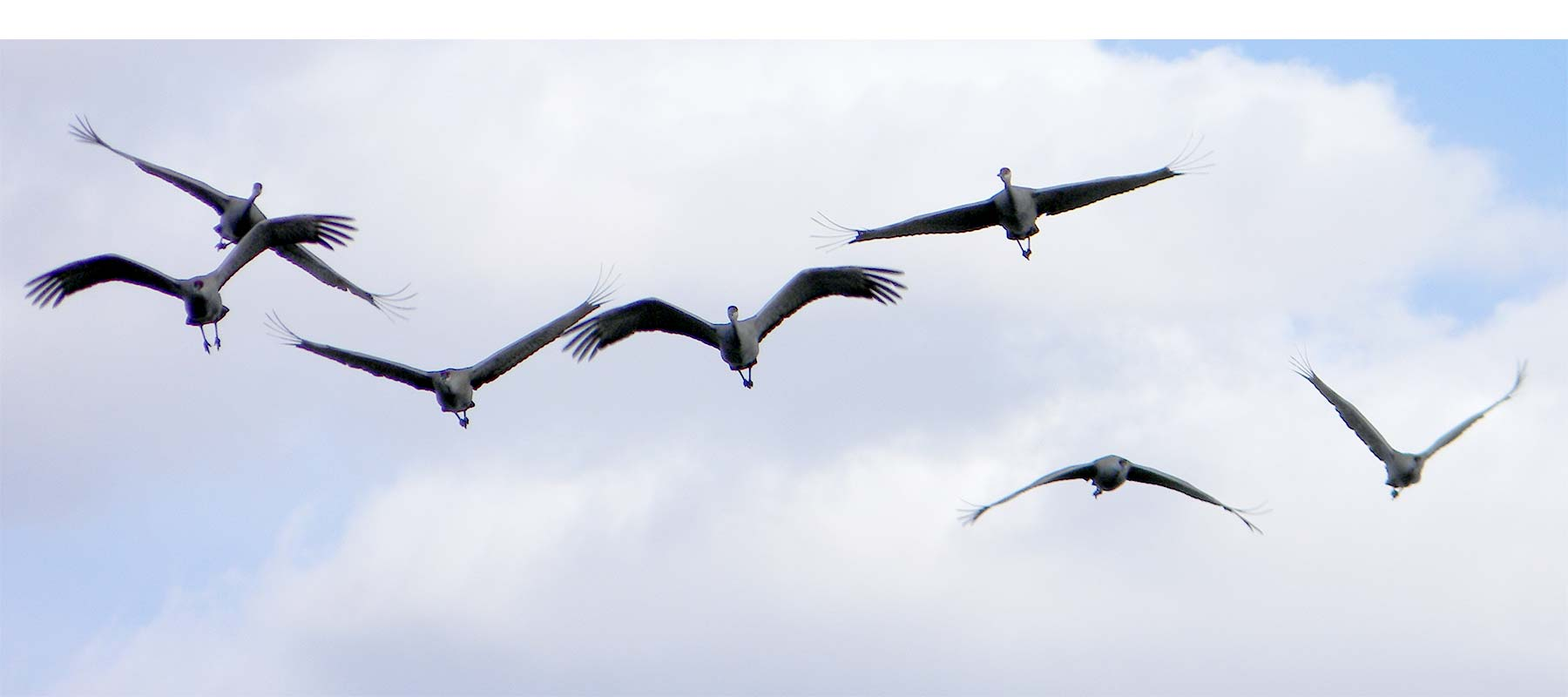 Flyover Cards (sandhill cranes - photo by Max)